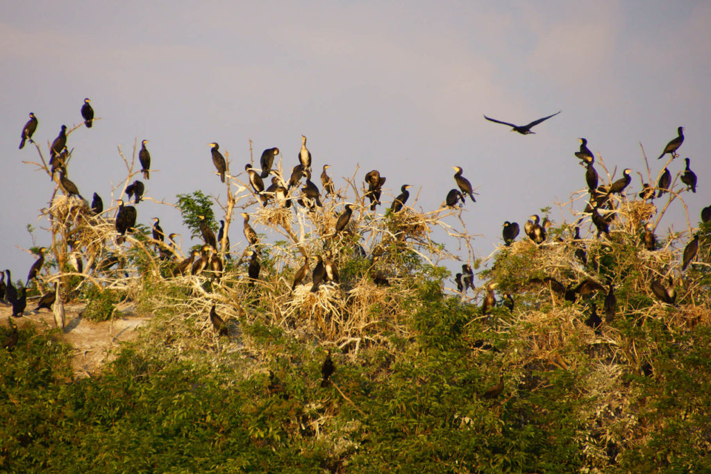 Kolonia kormoranów na Wysokim Ostrowie