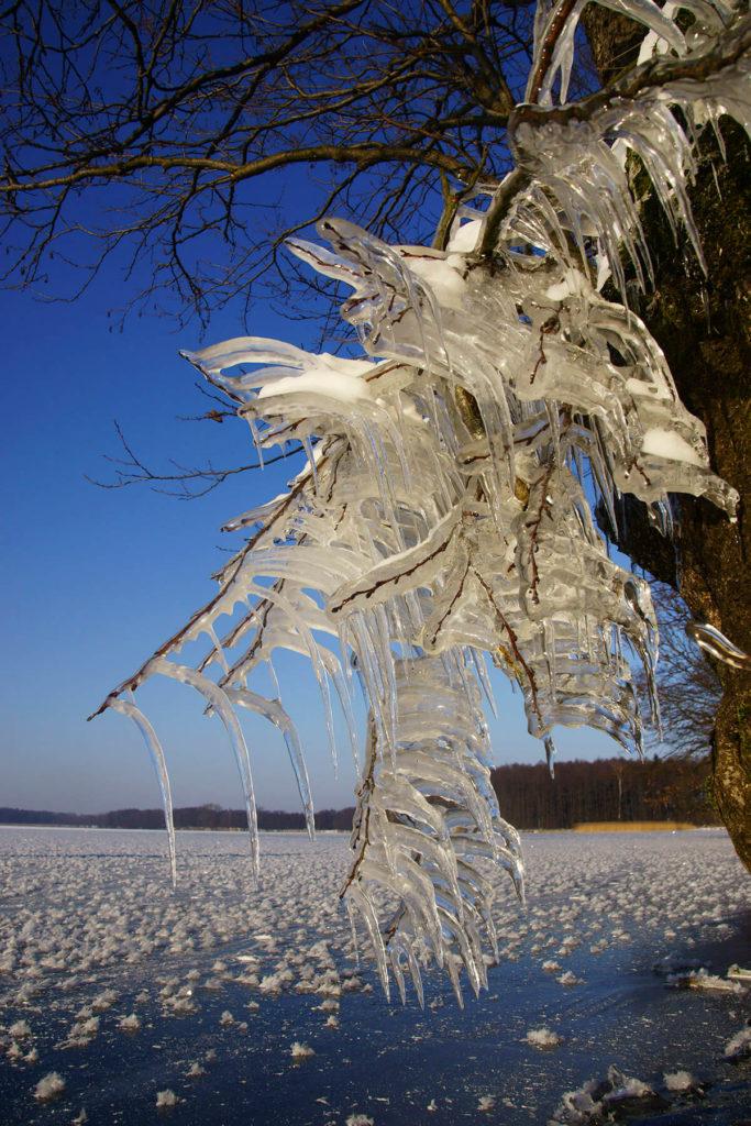 Oblodzone gałęzie drzew u brzegów Dargina