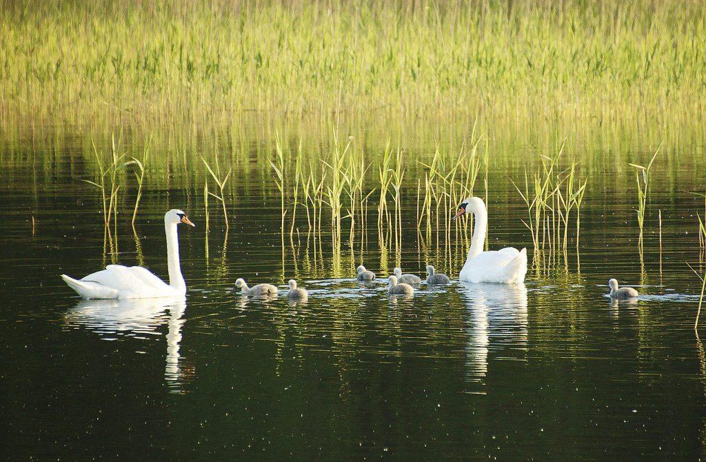 Rodzina łabędzi